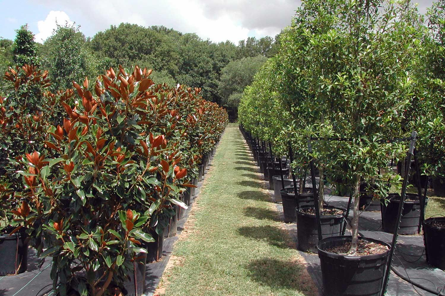 Trees at a nursery ready for transplanting.