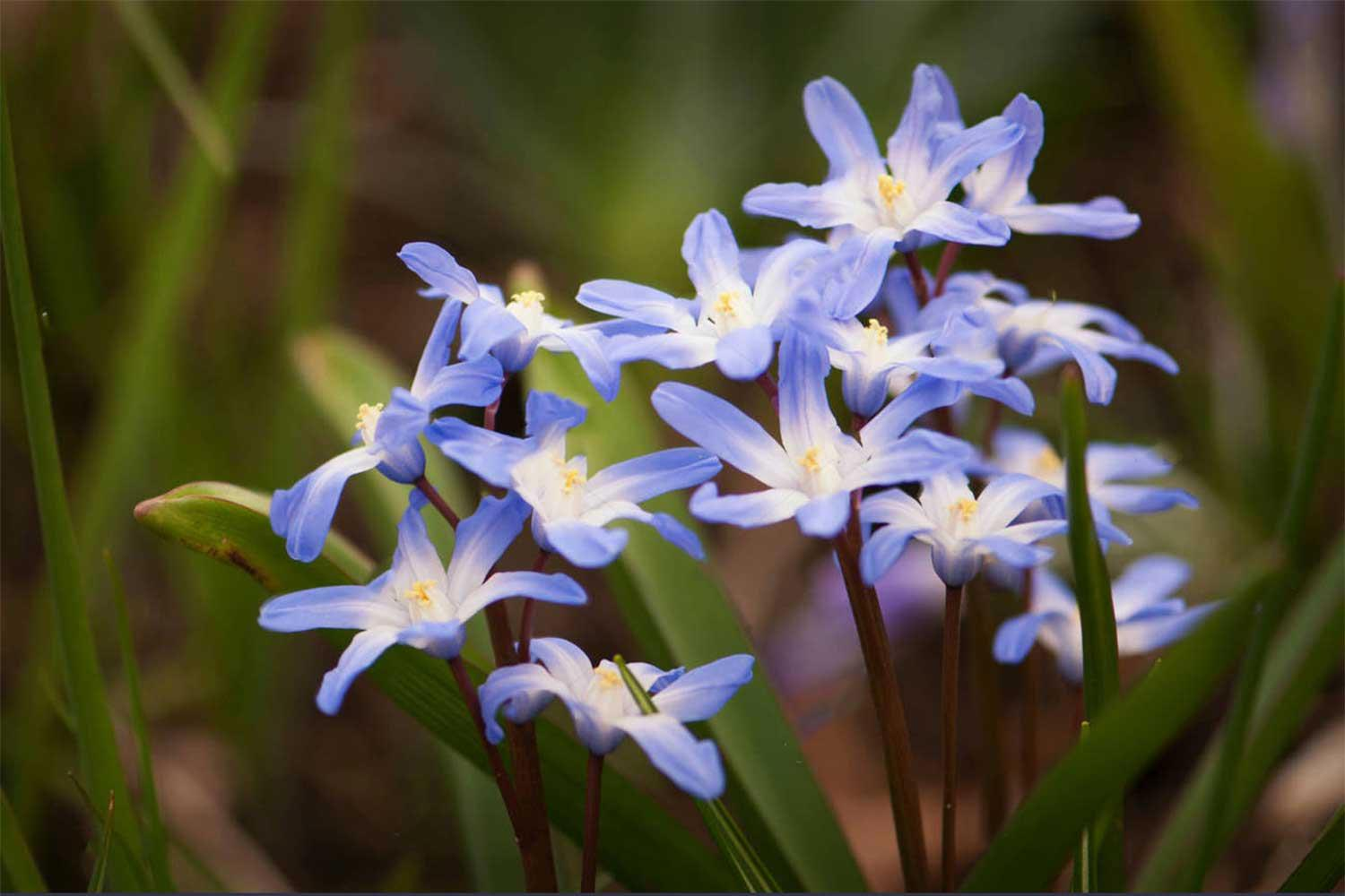 Pale blue, heart-shaped flowers with a white center.