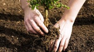 Close up of white hands planting a baby tree.