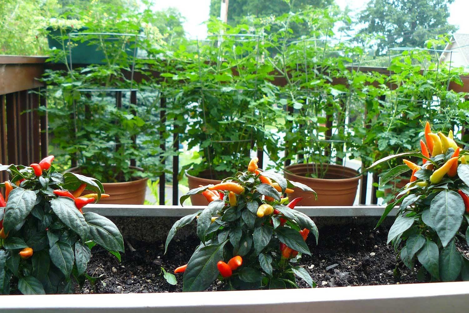 Hot pepper plants and tomatoes planted in containers on an outdoor deck.