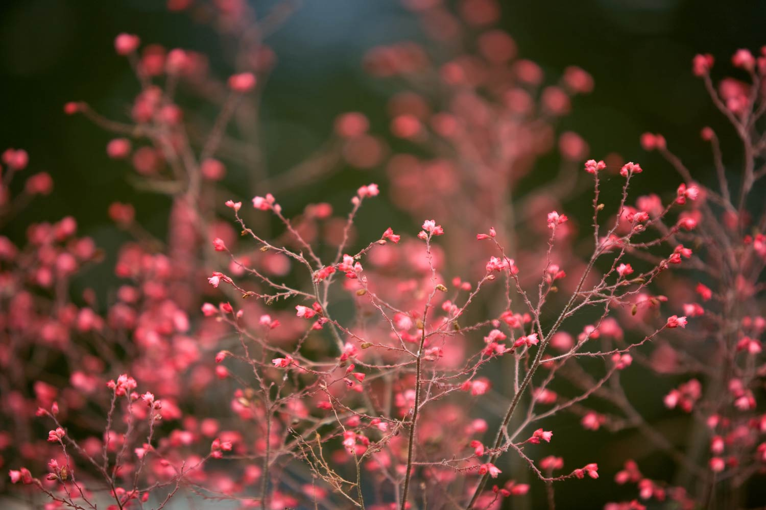 Ethereal red flowers